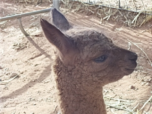 Head Shot of Queen\'s New Cria