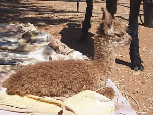 TeQueely\'s New Cria Cushed