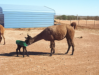 Griffin checks out Kanika when she was a small cria