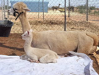 Keeva and her cria