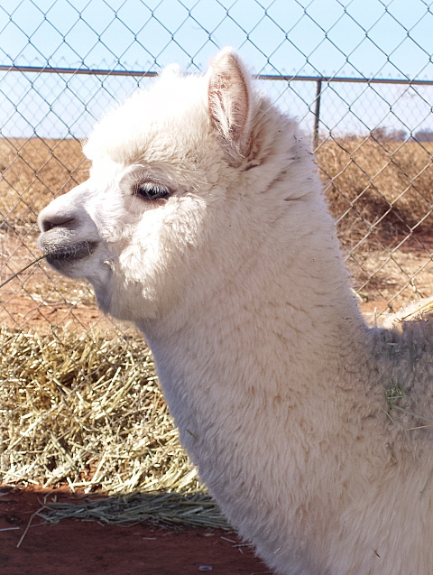 Stormy - Off to a new career as a performance and obstacle alpaca