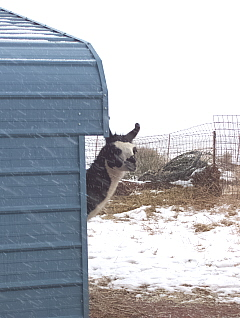 Inca Peeks Around The Corner Of The Shelter During Last Friday's Snow Storm