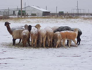 The alpacas swarm in on a hay feeder in the snow