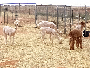 The Alpacas Enjoying Their Cooler Shorn Look