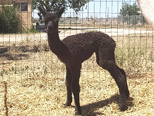 Chai's Surprise Cria