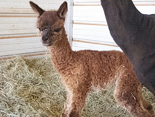 Queen's cria trying out his legs