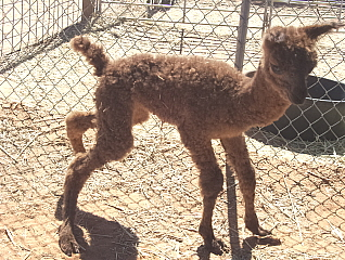 TeQueely's Cria - new born, wet and wobbly