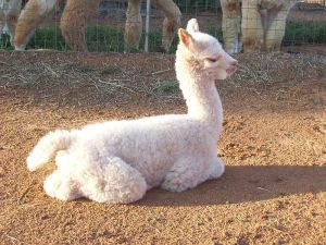 Bjorn's cria - glad to have found his way into the world!