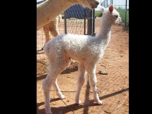 Willow's New Cria