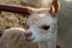 Our newest cria - son of Ana Lynette