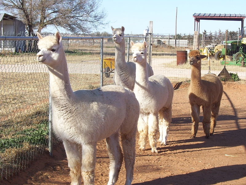 The Girls from Dancing Wind Alpacas