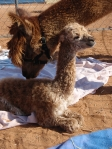 Theresa Checks Out Her New Female Cria