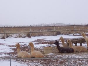 The alpaca boys watch the snow