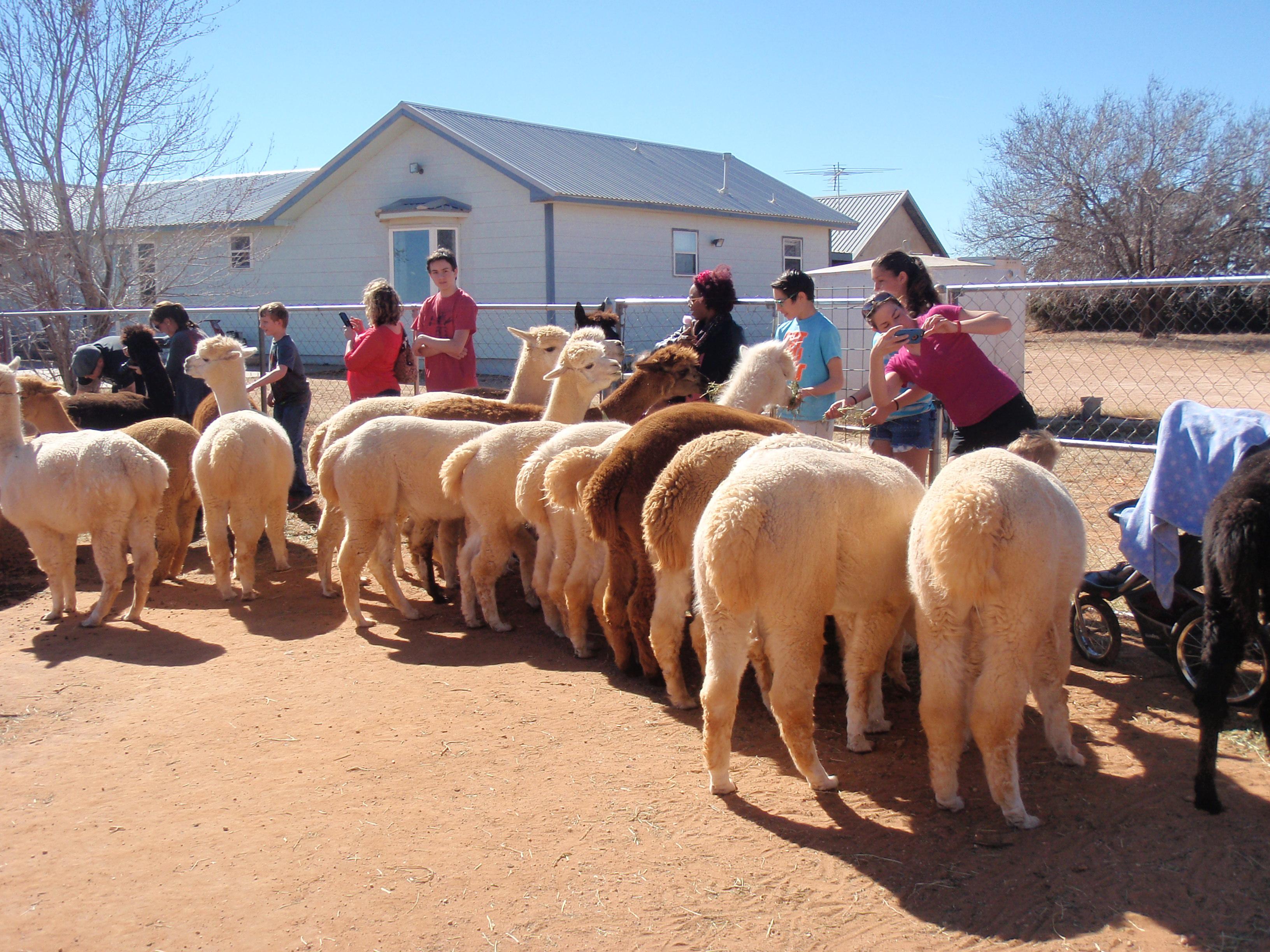 Open Farm Day a Windrush Alpacas