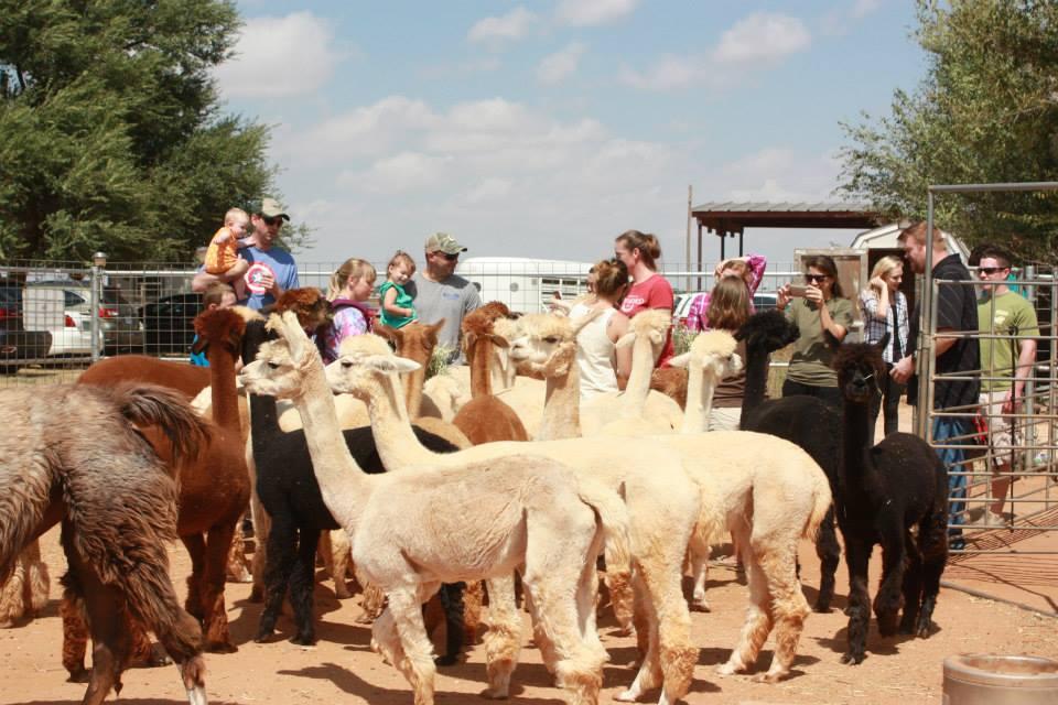 Windrush Alpacas Open Farm Day