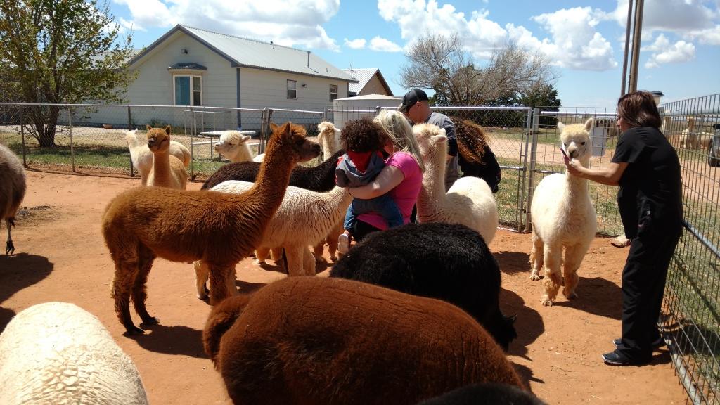 Open Farm Day at Windrush Alpacas