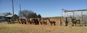 Alpacas at fence