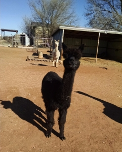 Queen at Windrush Alpacas