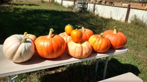 Pumpkinsharvested