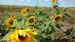 Sunflowersblog1