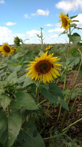 Sunflowersblog2