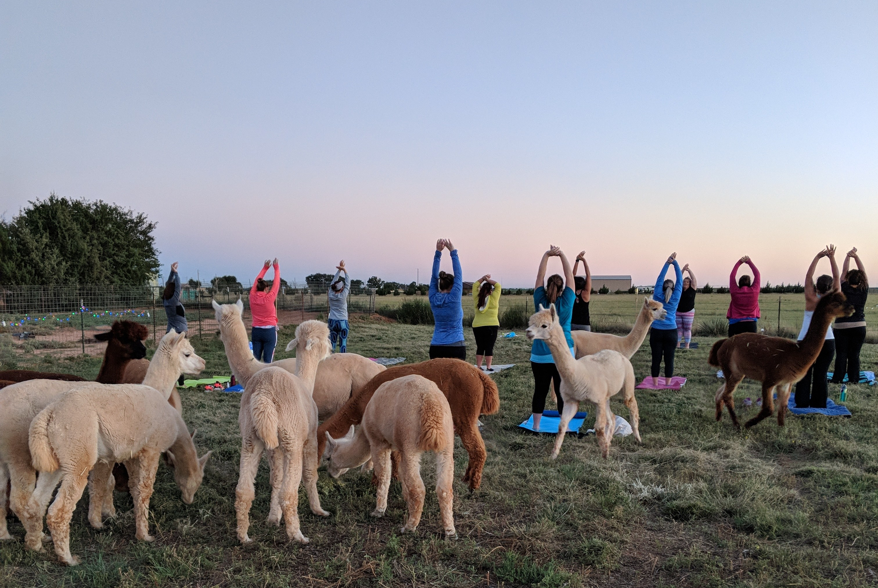 Pink Full Moon Yoga at Windrush Alpacas